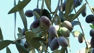 getlinkyoutube.com-Petani Mengamuk Mencegah Penebangan Pohon Zaitun
