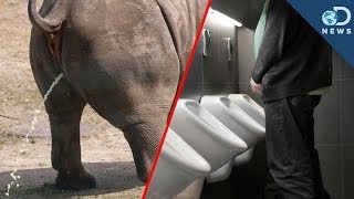 getlinkyoutube.com-Why All Mammals Pee For The Same Amount Of Time