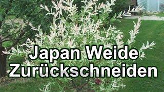 getlinkyoutube.com-Japan Weide Zurückschneiden / Harlekin-Weide