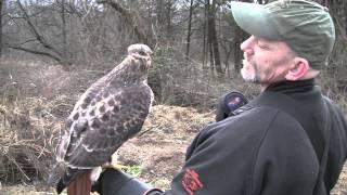 getlinkyoutube.com-Rabbit Hunting with Red Tail Hawks