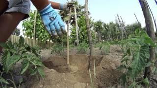 Come coltivare il melograno
