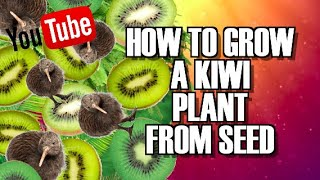 getlinkyoutube.com-How to GROW KIWI plants for seeds you take from store bought fruit