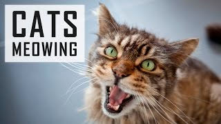 getlinkyoutube.com-10 CATS MEOWING | Make your Cat or Dog Go Crazy! HD Sound Effect