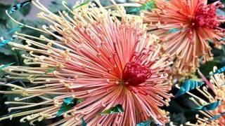 getlinkyoutube.com-Chrysanthemum flower (HD1080p)