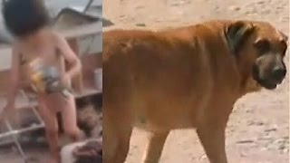 getlinkyoutube.com-Two-year-old boy kept alive by pregnant dog who BREASTFED him