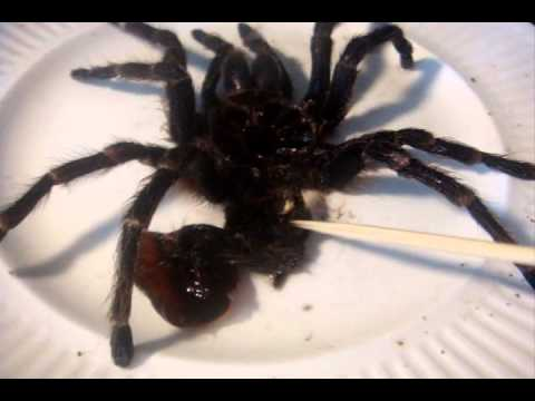 Acanthoscurria brocklehursti  (Giant White Banded) Molting and Sexing Tutorial