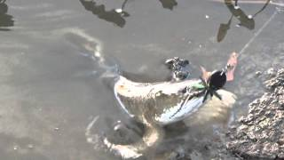 getlinkyoutube.com-ตีเหยื่อปลอม ตกปลาช่อน 0.9 กิโล ช่อนคลองยามเย็น กับส่ายแก้คันสีดำ