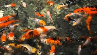 getlinkyoutube.com-Адлер   океанариум   японские прудовые рыбы