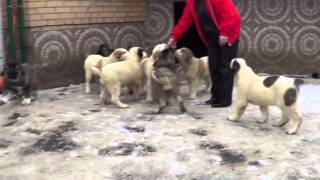 getlinkyoutube.com-Щенки алабая и кавказская овчарка 2,5 месяца www.r-risk.ru +79262205603 Татьяна
