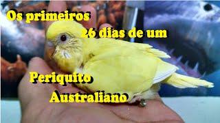 getlinkyoutube.com-PERIQUITO AUSTRALIANO - primeiros 26 dias de vida