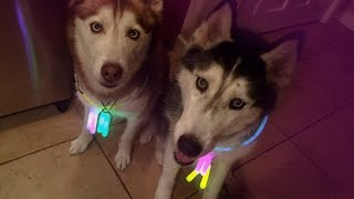 getlinkyoutube.com-DOGGY DANCE PARTY! - Mishka the Raving Husky