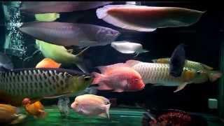 getlinkyoutube.com-大型魚混泳水槽 -- Tambaqui, RTG/Red/Black/Albino Silver Arowana & My Hybrid/American Cichlids Comm Tank
