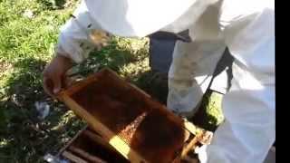 getlinkyoutube.com-تقسيم خلايا النحل بدون التنقيل