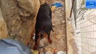 getlinkyoutube.com-;كلاب الروت وايلر مع جمال العمواسي