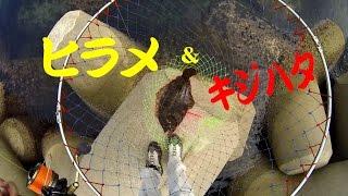 getlinkyoutube.com-アジの泳がせつり 諦めなければ何かが釣れる! まさかの高級魚 アコウ(33cm)&ヒラメ(46cm)