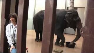getlinkyoutube.com-Meet the Elephants of the National Zoo