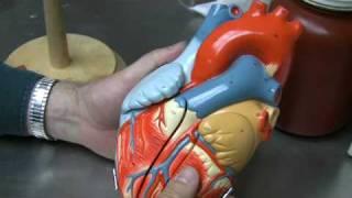 getlinkyoutube.com-Heart Anatomy Part 1