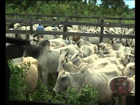 Comitiva leva boiada do pantanal para o firme