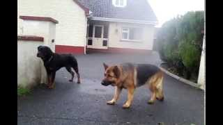 getlinkyoutube.com-Socialized Rottweiler vs Rottweiler and german shepherd after the fence PART 1