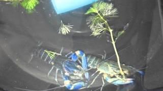 getlinkyoutube.com-กุ้งก้ามแดง พร้อมผสมพันธุ์ Crayfish Plus