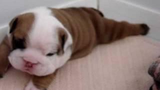 getlinkyoutube.com-Bulldog baby 2 weeks old