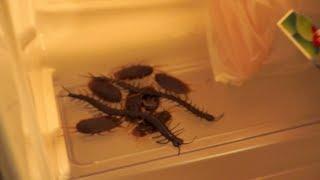 getlinkyoutube.com-冷蔵庫にゴキブリドッキリ cockroach in the icebox