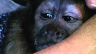 "getlinkyoutube.com-Capuchin monkey Wolfgang in ""I cant believe it"".mpg"