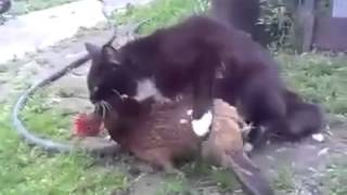 getlinkyoutube.com-Cat mating hen