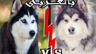 مقارنة بين الهاسكي و مالميوت HUSKY VS MALAMUTE