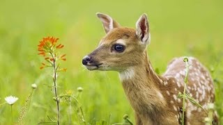 getlinkyoutube.com-The Private Life of Deer - Amazing Nature Documentary (HD)
