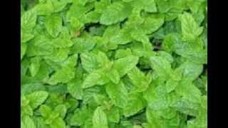 getlinkyoutube.com-pudina.. പുതിന  ഇല/ No.16
