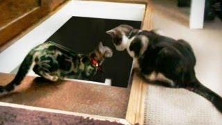 ロフトから降りようとする猫にもう一匹の猫が背中押して落とす