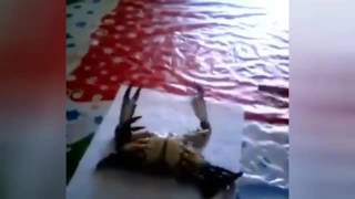 getlinkyoutube.com-Phwoar! No nonsense crab does killer workout with paintbrush