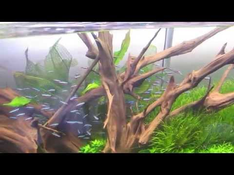 180 Gallon planted Aquarium with Cardinal tetras