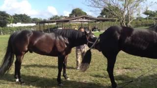getlinkyoutube.com-Miami Quarter Horse