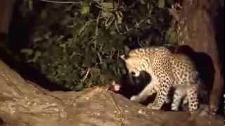 Un leopardo mata a un mono y cuando va a devorarlo descubre al bebé de su víctima y...