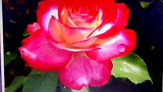 Water drop animation on gif on rose