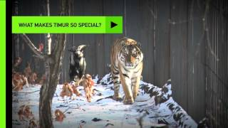 getlinkyoutube.com-Meet Amur, the tiger, and Timur, the goat
