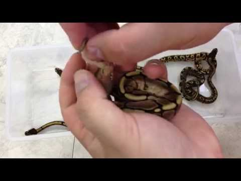 Sexing Ball Python Hatchlings (Popping)