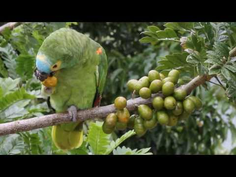 Papagaio-verdadeiro (Amazona aestiva) Blue-fronted Parrot