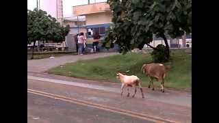 getlinkyoutube.com-Bode bravo ataca em Londrina