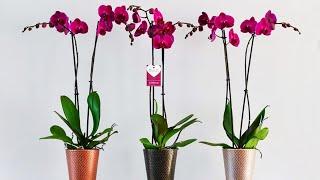 getlinkyoutube.com-Размножаем орхидею черенкованием, проводим омоложение