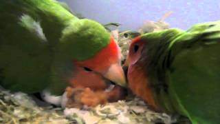 getlinkyoutube.com-Love Birds: wonderful pets!
