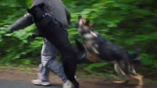 getlinkyoutube.com-Personal Protection Dogs Working as One (German Shepherds + Belgian Malinois)