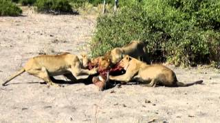 getlinkyoutube.com-Cruel Nature: Lions eating their prey while it is still alive!