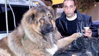getlinkyoutube.com-الكلب  القوقازي 4-2-2015 سيمبا مع جمال العمواسي