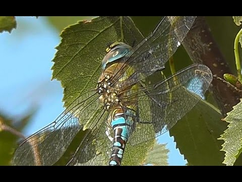 Migrant Hawker Dragonfly - In Focus