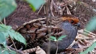 getlinkyoutube.com-Aves do Brasil - Macucos, inhambus, jaós, xororós e urus...