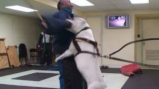 getlinkyoutube.com-Training Personal Protection Dogs To Protect Themselves! (K9-1.com)