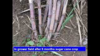 How to Make Seedling From Single Bud Of Sugar Cane